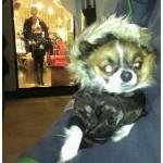 Chocolate Pup Coat